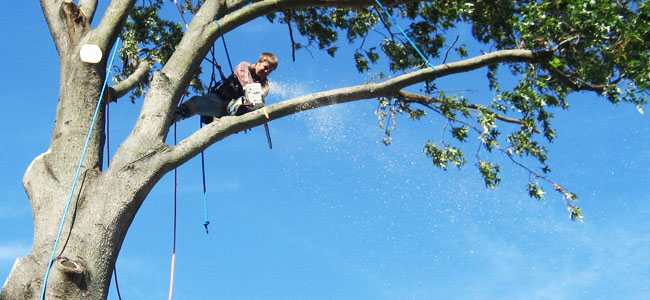 Tree Pruning in Guildhall, VT